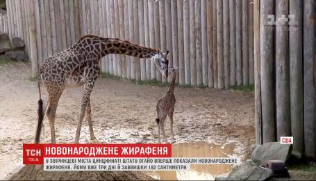В зверинце американского штата Огайо показали новорожденного малыша жирафы