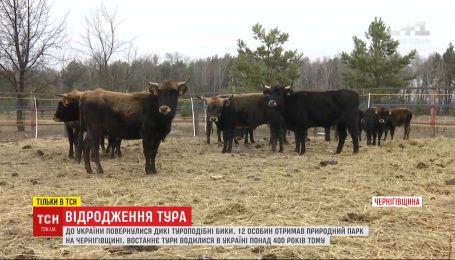 Прадавні тури повернулися до України: 12 особин отримав природний парк на Чернігівщині