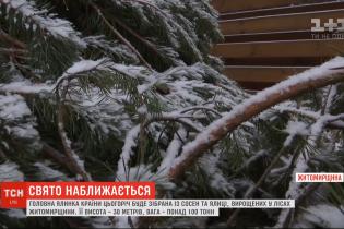 Для главной елки страны в Киеве заготовили четыре сотни сосен. Стоимость всех деревьев – 125 тысяч гривен