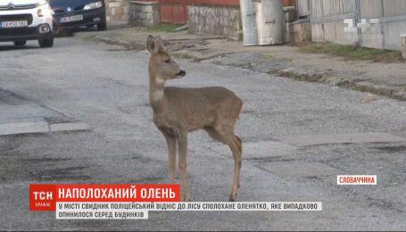 У Словаччині поліцейський відніс до лісу оленятко, яке заблукало серед будинків