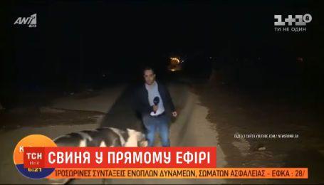 На греческого журналиста во время работы в прямом эфире напала свинья