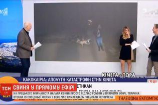 Велика свиня атакувала грецького журналіста під час прямого ефіру