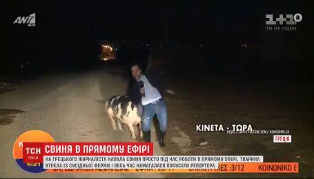Здоровенный хряк набросился на греческого журналиста во время прямого включения