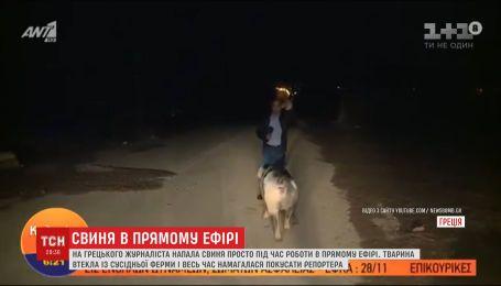 Упрямая свинья пыталась покусать корреспондента в прямом эфире