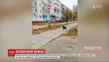 Козел очолив зграю собак, яка бігає містом Павлоград на Дніпропетровщині