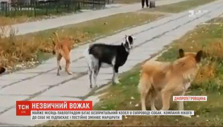 Почти месяц Павлоградом бегает бездомный козел в сопровождении собак
