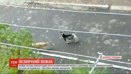 Незвична компанія: козел очолив зграю собак на Дніпропетровщині
