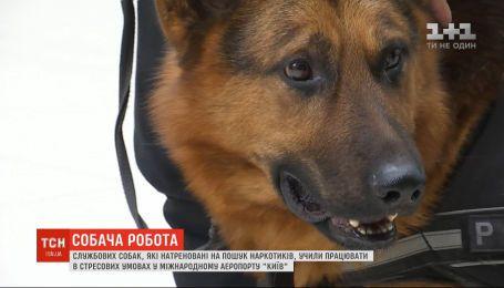 """У міжнародному аеропорту """"Київ"""" вчили службових собак  працювати в стресових умовах"""