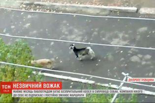 Необычная компания: козел возглавил стаю собак на Днепропетровщине