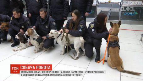 Службових собак, які натреновані на пошук наркотиків, учили працювати у стресових умовах