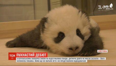 Нова зірка зоопарку: у Берліні невдоволений малюк панди довго не міг заснути через гикавку