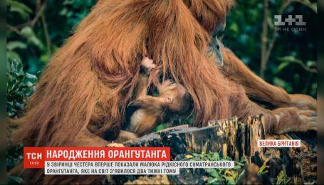 В зверинце Честера на свет появился малыш суматранского орангутана