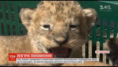 У Хмельницькому приватному зоопарку народилось троє левенят