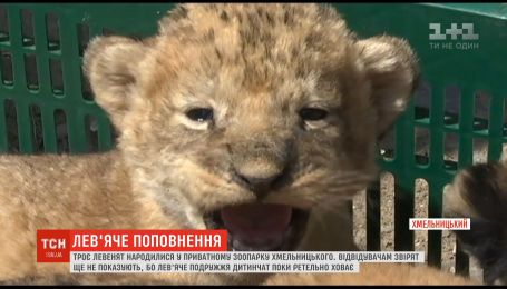В Хмельницком частном зоопарке родилось трое львят