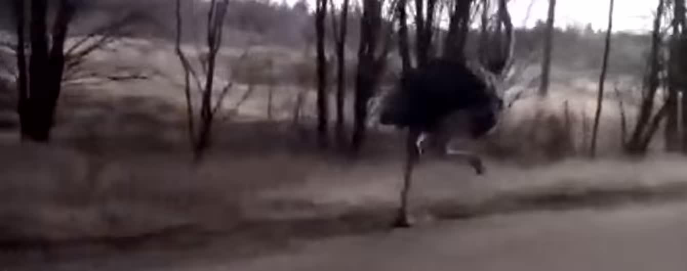 """У Росії водій зняв """"перегони"""" зі страусом на трасі"""