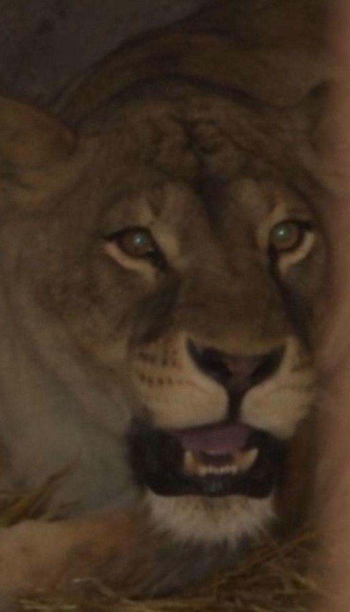 Трое львят родились в частном зоопарке Хмельницкого