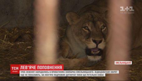 Троє левенят народились у приватному зоопарку Хмельницького