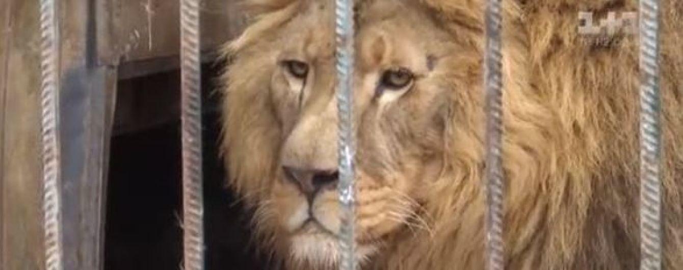 В Хмельницком плодовитая пара львов родила семерых детенышей в течение года