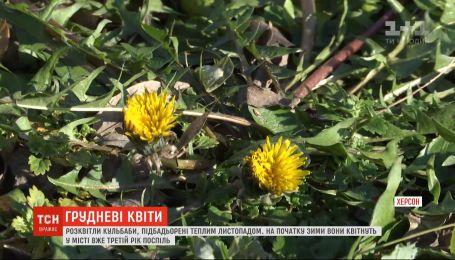 Третій рік поспіль кульбаби квітнуть у Херсоні на початку зими