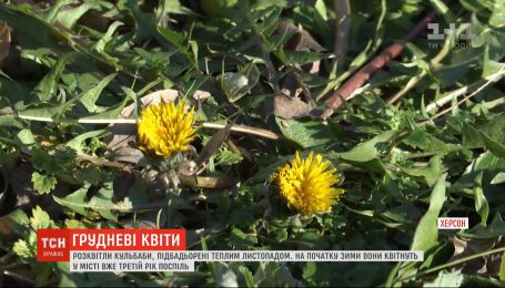 Третий год подряд одуванчики цветут в Херсоне в начале зимы