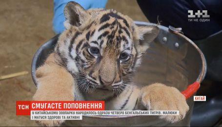 В китайском зоопарке родились сразу четверо бенгальских тигров