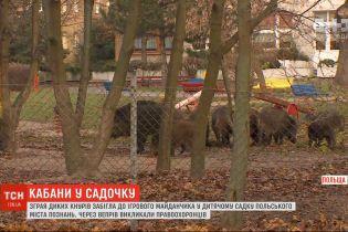 Зграя диких кабанів забігла в дитячий садок у Познані