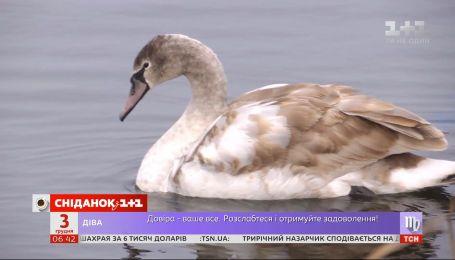 Лебедь в ледяном плену: как в Кагарлыке спасали птицу