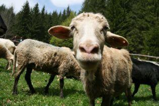 В Харькове перед магазином повесили овцу с распоротым животом