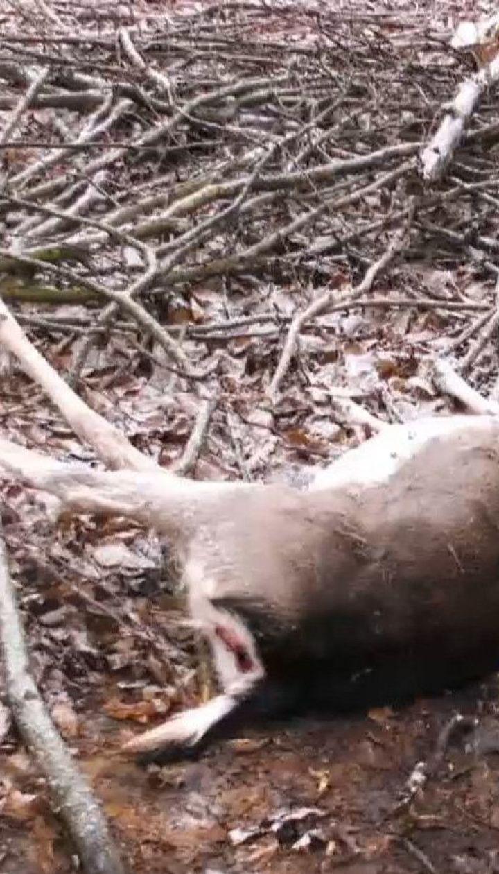 В лесничестве на Волыни неизвестные ночью расстреляли ланей