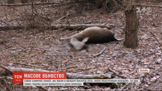 У волинському лісництві невідомі застрелили сім ланей. Тварин мали випустити у дику природу