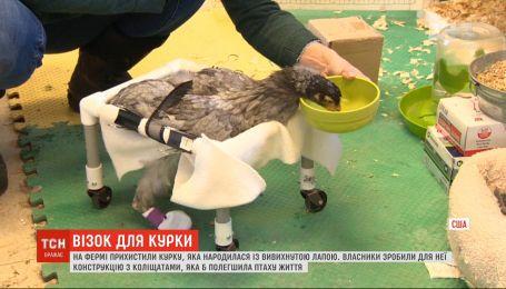 На ферме в американском городе Верона приютили курицу, которая родилась с вывихнутой лапой