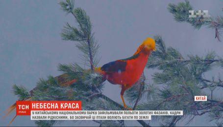 Сказочные фениксы: в Китае сняли редкие полеты золотых фазанов