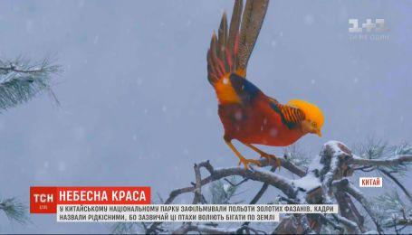 В китайском заповеднике удалось заснять уникальные кадры полета золотых фазанов
