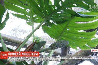 В Ботаническом саду Днепра созрели плоды монстеры деликатесной