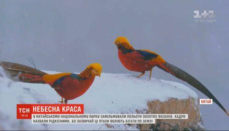 Редкие кадры полета золотых фазанов отсняли в Китае
