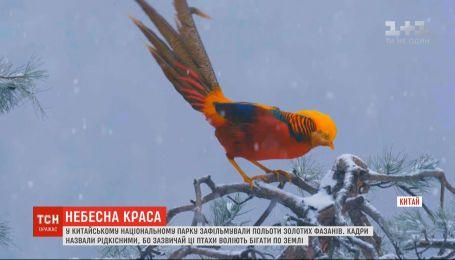 Сказочные фениксы: в нацпарке Китая сняли редкий полет золотых фазанов