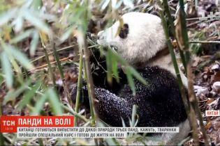 У Китаї готуються відпустити до дикої природи трьох панд