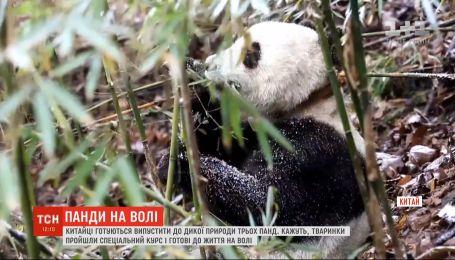 В Китае готовятся отпустить в дикую природу трех панд