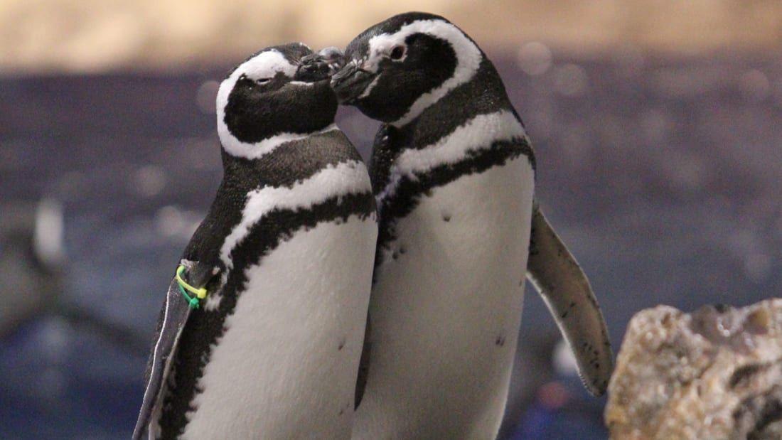 пінгвіни японського акваріуму