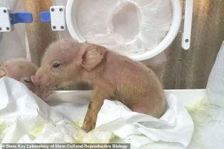 У Китаї народилися перші у світі гібриди мавп та свиней
