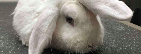 """В Великобритании ищут хозяев для """"кролика-единорога"""""""