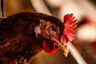 Спалах пташиного грипу: на Вінниччині знищили понад 108 тисяч курей