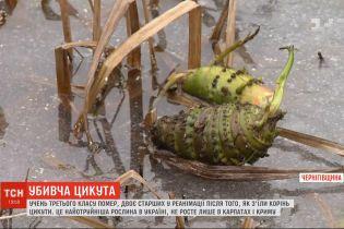 Найотрутніша рослина в Україні: як виглядає цикута і чим вона небезпечна