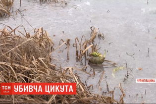 После употребление цикуты умер третьеклассник с Черниговщины. Что нужно знать о растение-убийце