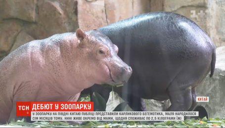 Посетителям зоопарка на юге Китая представили карликового бегемотика