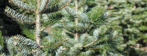 В Україні вже продали майже 180 тисяч ялинок, а новорічні дерева здорожчали - Держлісгосп розповів головні тренди