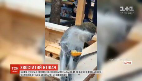 Незвичайний відвідувач: до харківського супермаркету забігла мавпа