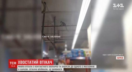 У крамниці Харкова довелося ловити мавпу, яка втекла з місцевого зоопарку