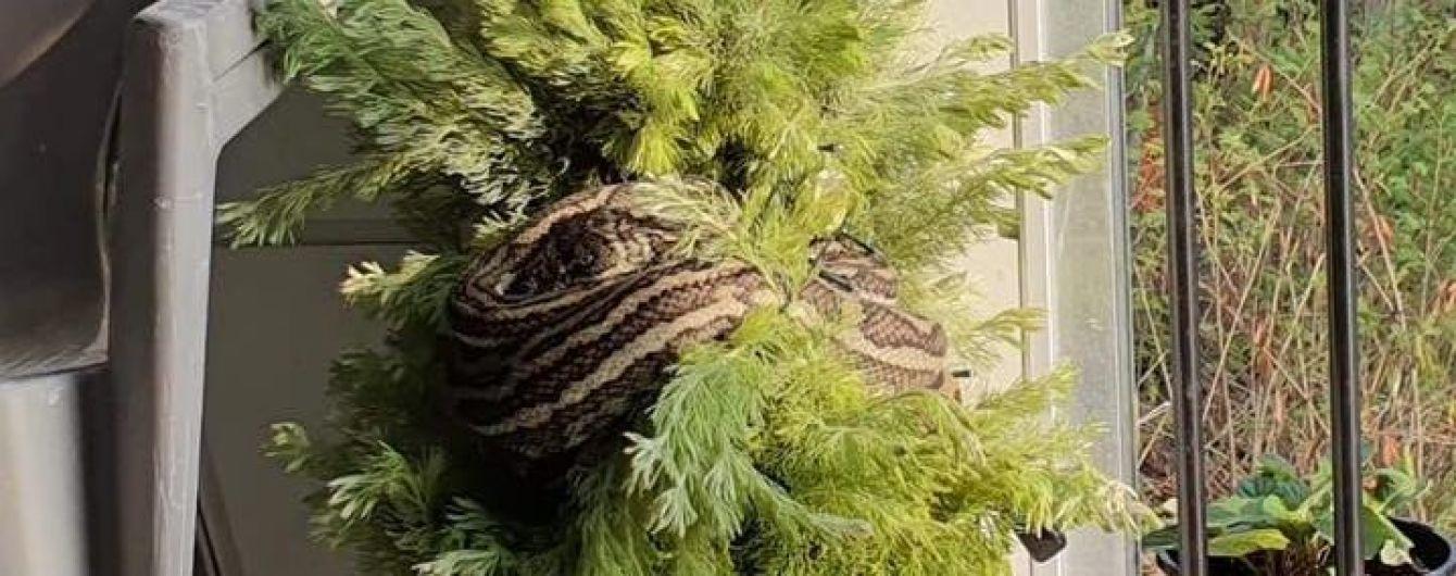 В Австралії триметровий пітон замаскувався під гірлянду на різдвяній ялинці
