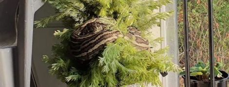 В Австралии трехметровый питон замаскировался под гирлянду на рождественской елке